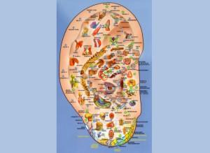 Representación invertida del cuerpo humano en la oreja.